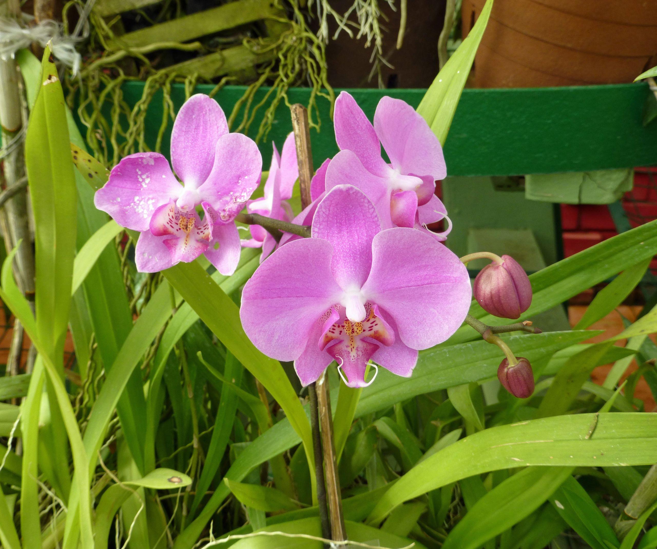 Orchidées Jardin botanique de Peradeniya Sri Lanka 6