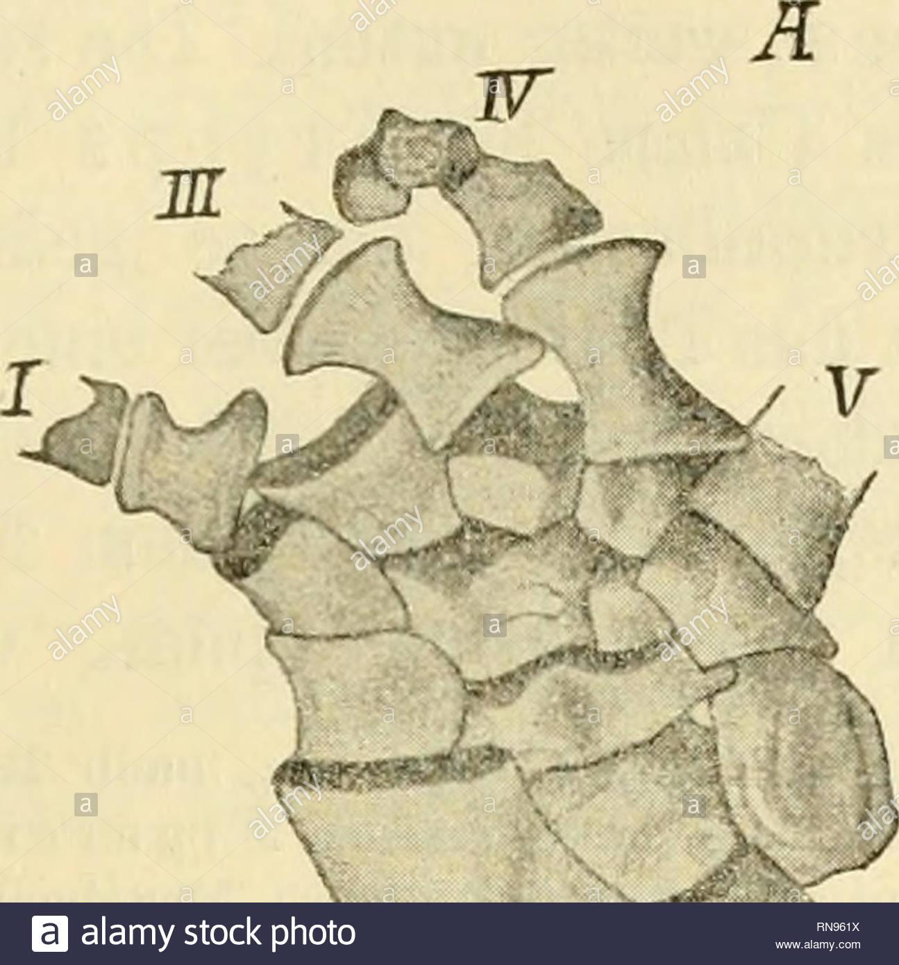 anatomischer anzeiger anatomy parative anatomy parative 203 beweisen da ersteres nicht folge von knorpelzerstrung war sondern durch dislocation stattfand carpalia schlssen im natr lichen zustand gewi eng an einander proximale reihe besteht aus 4 stcken wovon 3 den radius berhren cope deutet sie als y v i fig 1 linke vorderextremitt von eryops meg a cep h alu s nach cope a volare b dorsale ansicht radiale centrale intermedium und ulnare weiter distal finden sich in der mitte der handwurzel noch zwei kleinere ungleiche centralia di RN961X