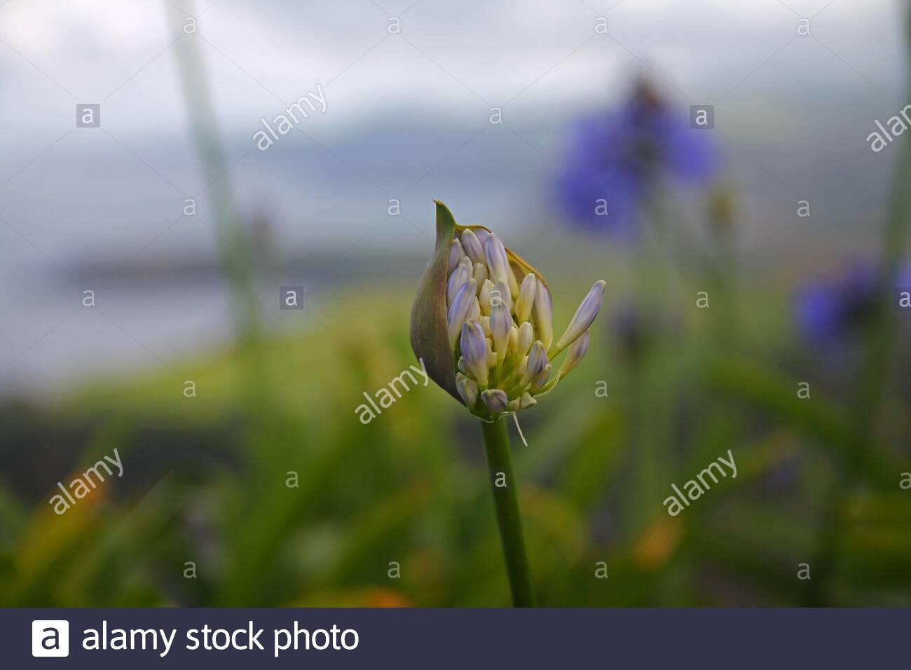 fleur violette agapanthe bleue a sao miguel 2atxc9r