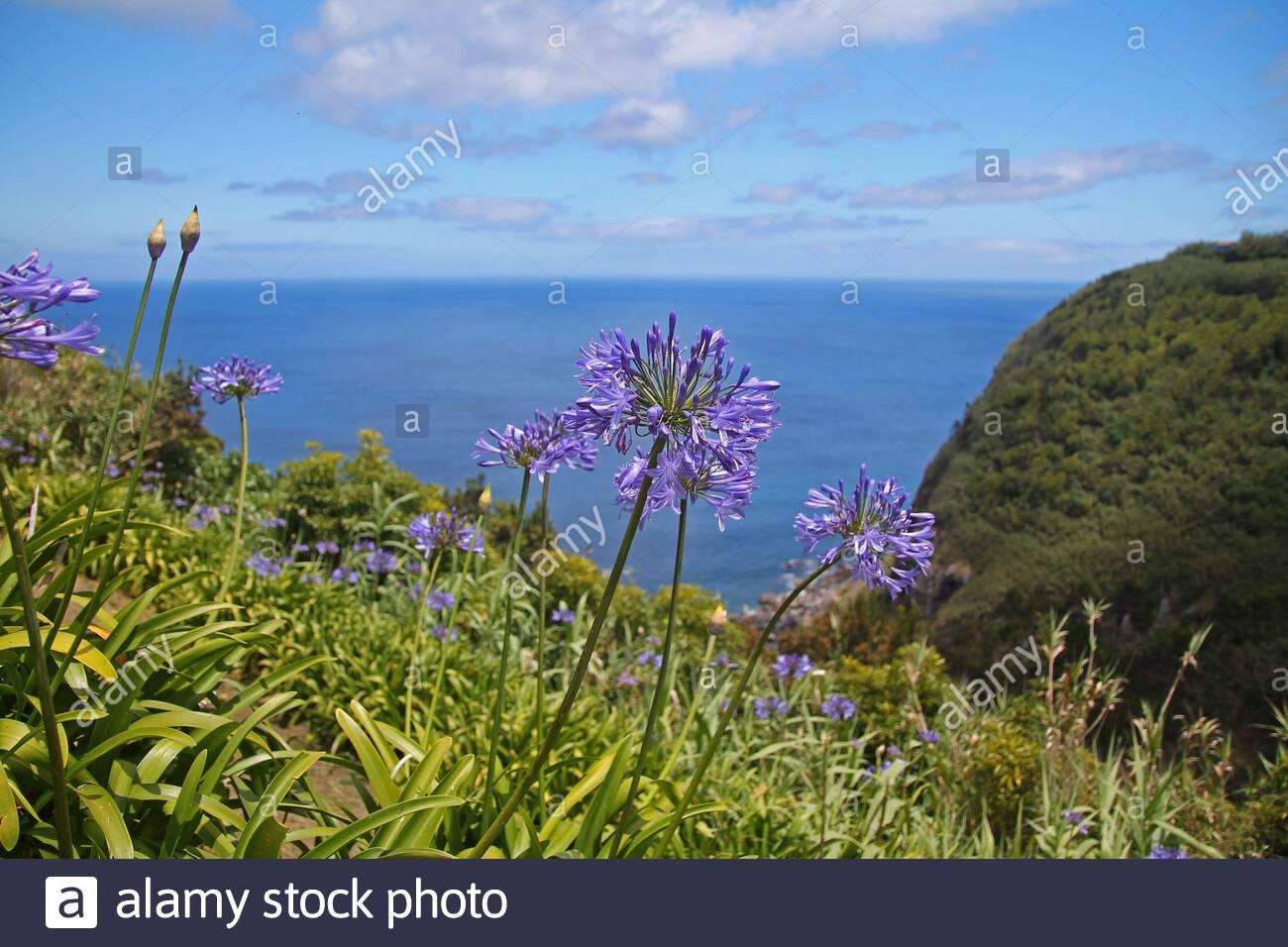 violet agapanthe bleue sur les falaises de sao miguel 2atxd8a