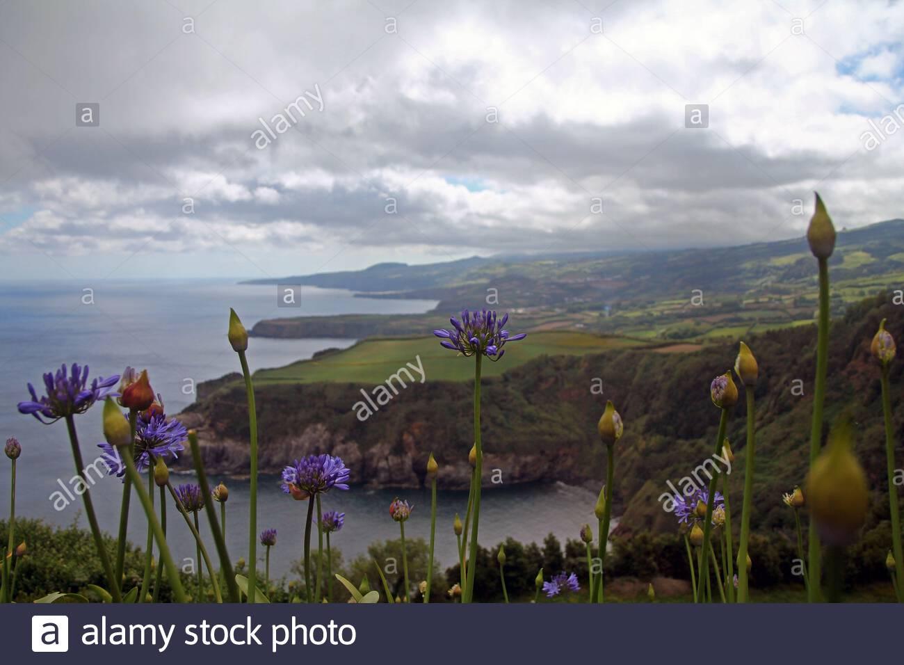 violet agapanthe bleue sur les falaises de sao miguel 2atxc5f