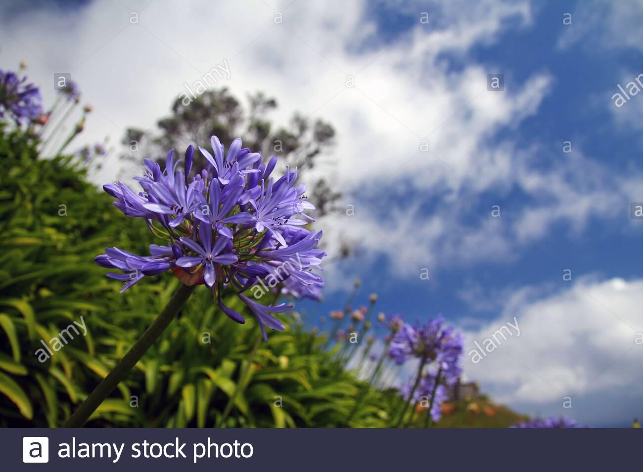 violet agapanthe bleue fleurs a sao miguel 2atxcda