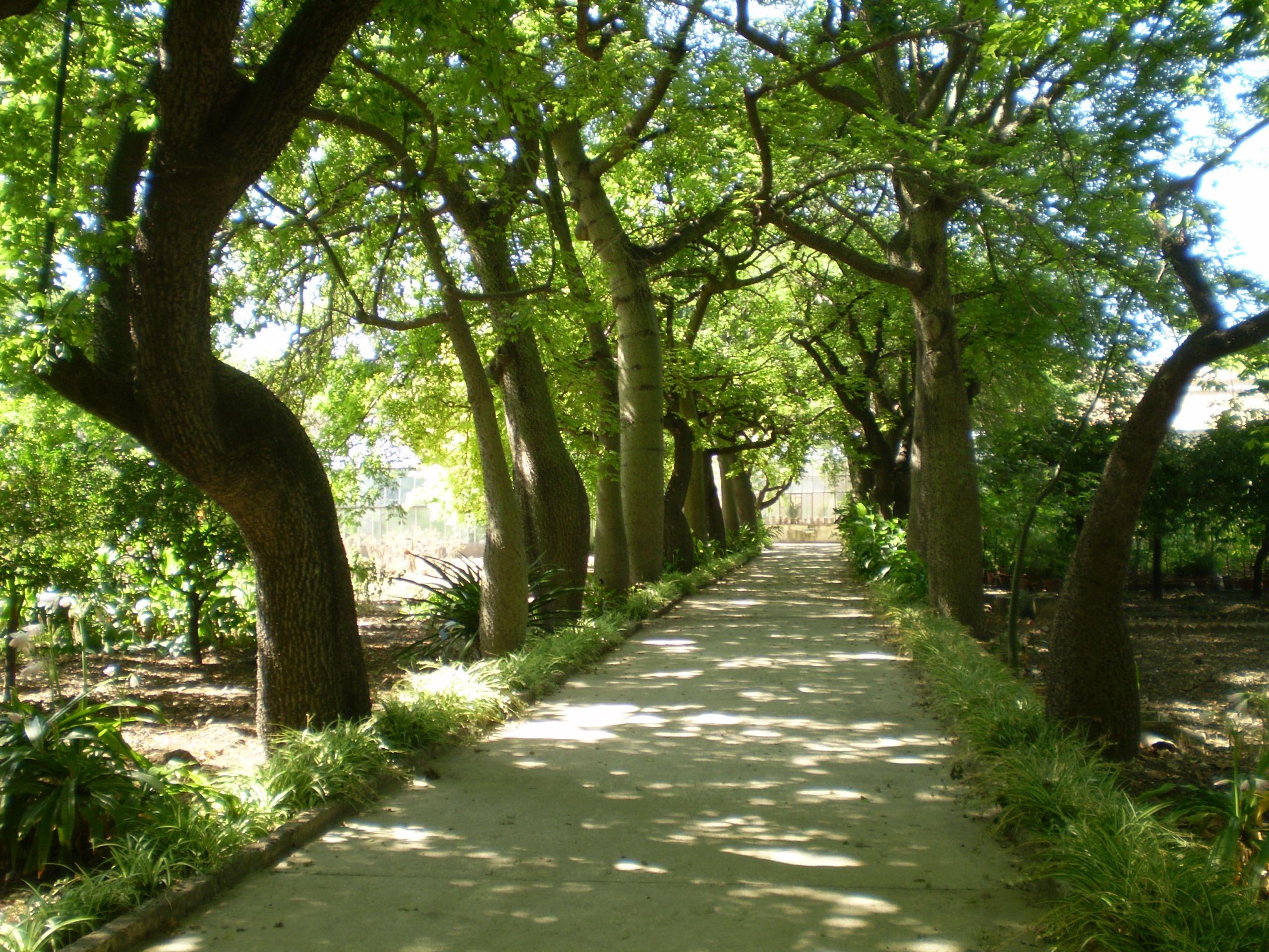 Ceiba speciosa Orto Botanico di Palermo 05