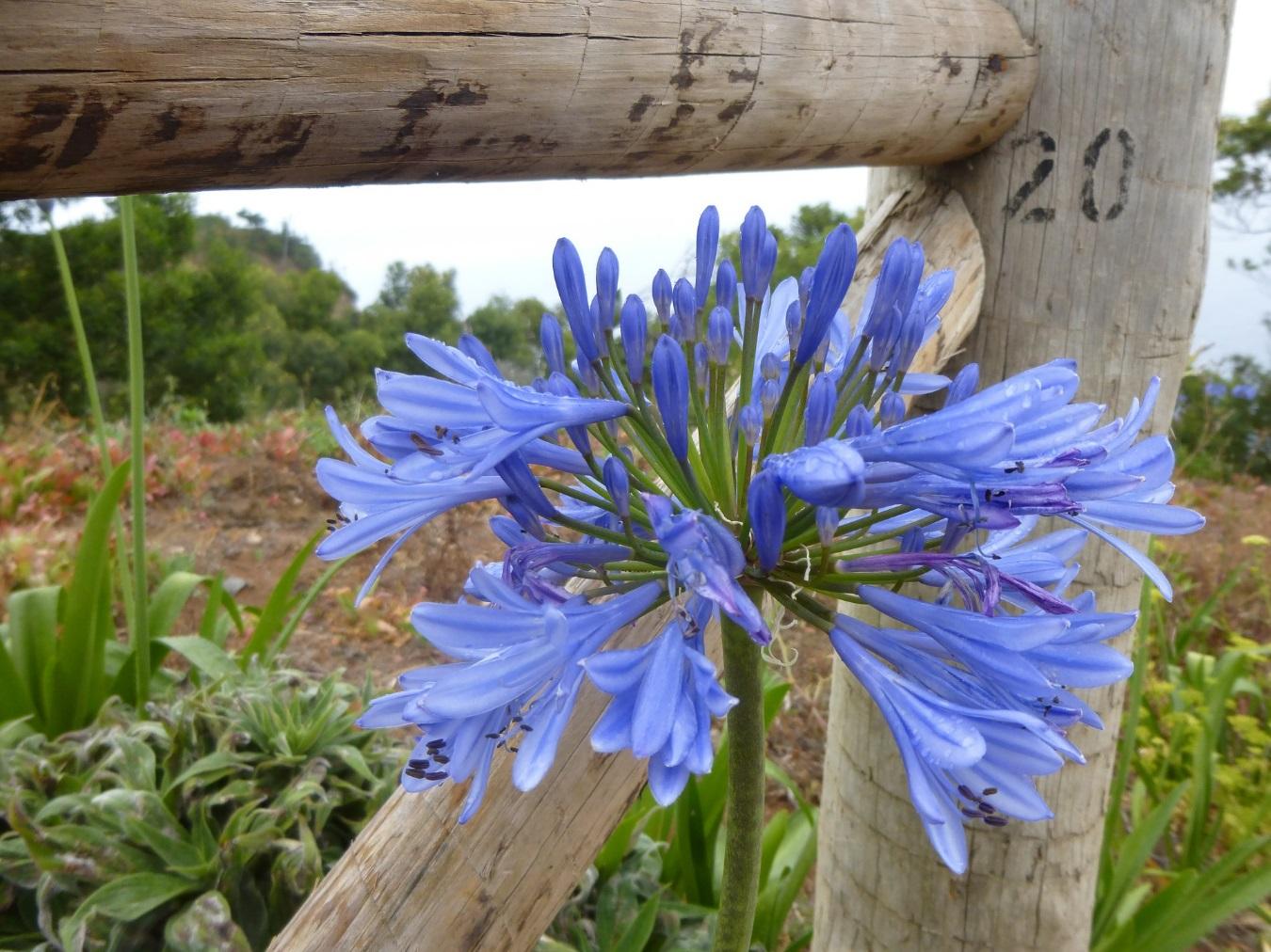 Agapanthe Jardin Unique Plantas De Exterior Resistentes Al sol Y Poca Agua Novo P Of 84 Génial Agapanthe Jardin