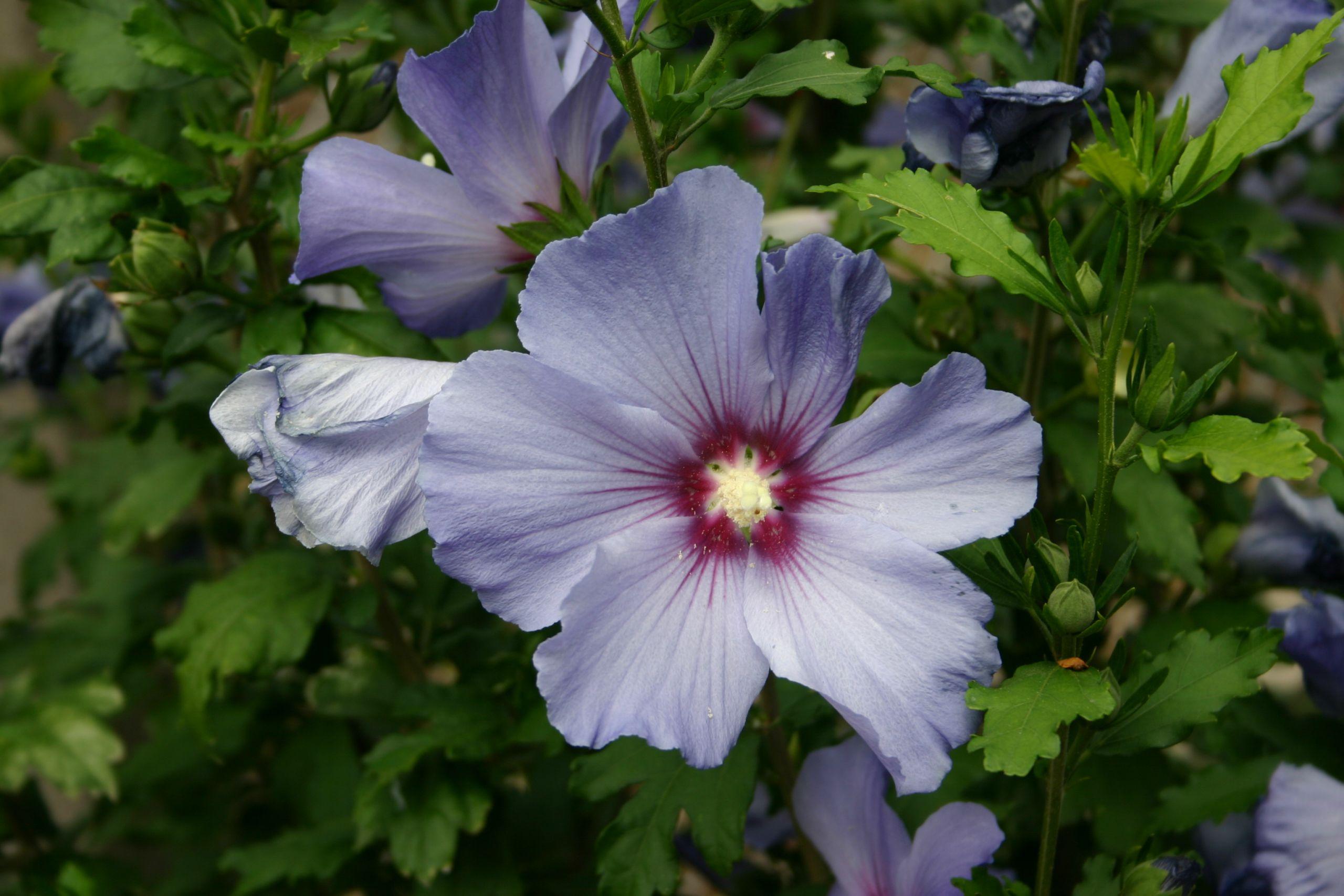 Hibiscus bleu 2