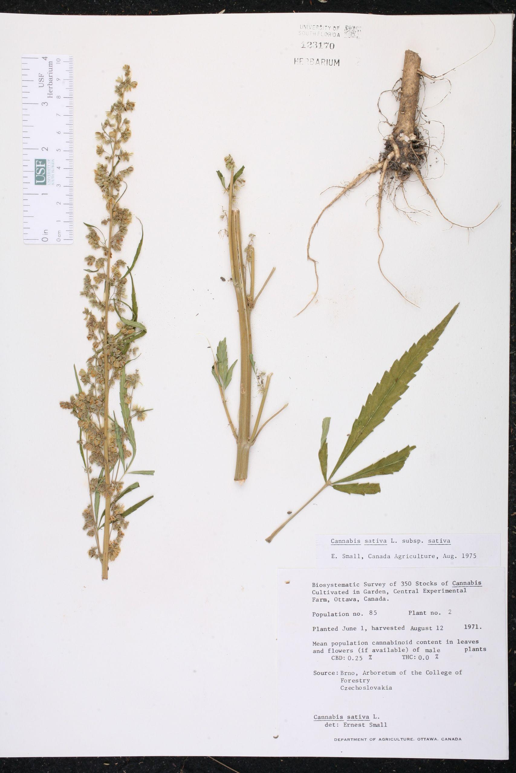 Avis Habitat Et Jardin Luxe Cannabis Sativa Species Page isb atlas Of Florida Plants Of 36 Inspirant Avis Habitat Et Jardin