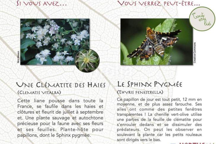 Blattes De Jardin Nouveau Sphinx Pygmée Dans La Clématite Des Haies Au Jardin
