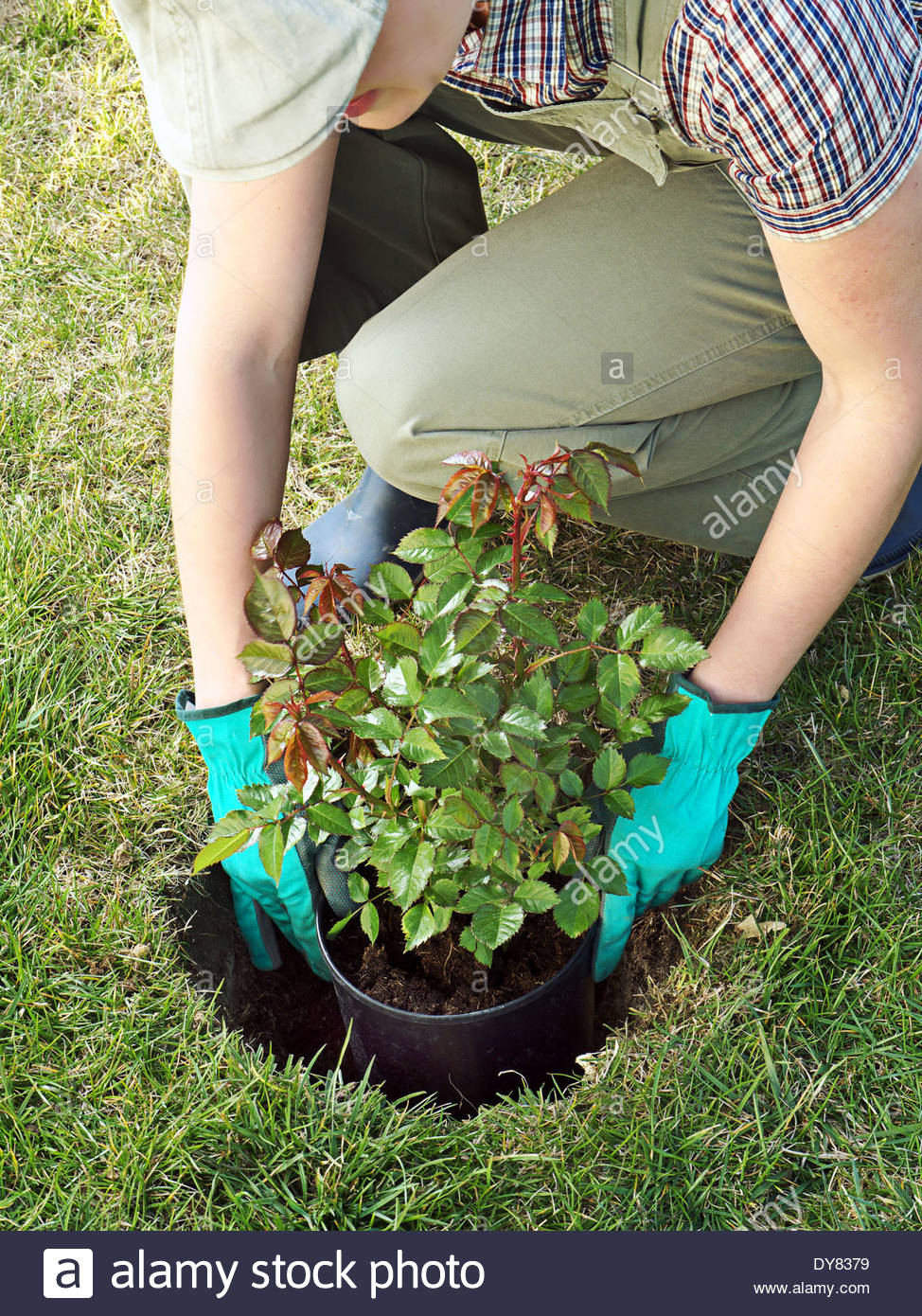 female gardener trying potted rose shrub in the dug hole in her backyard DY8379