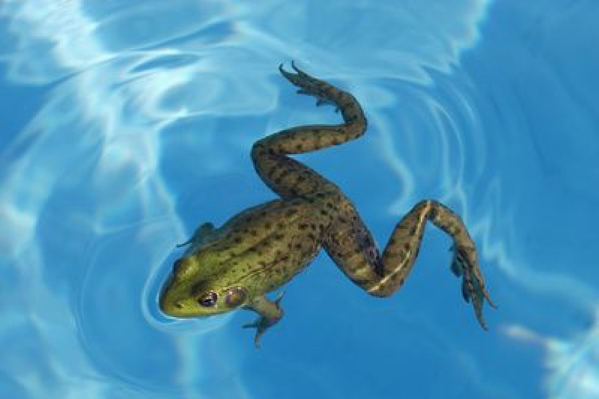 des grenouilles dans votre piscine ment les faire fuir 1200 800