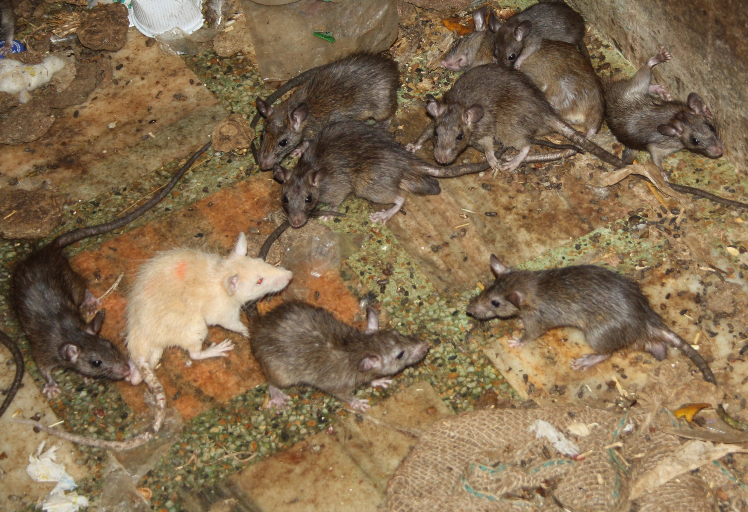 White rat at the temple of Karni Mata