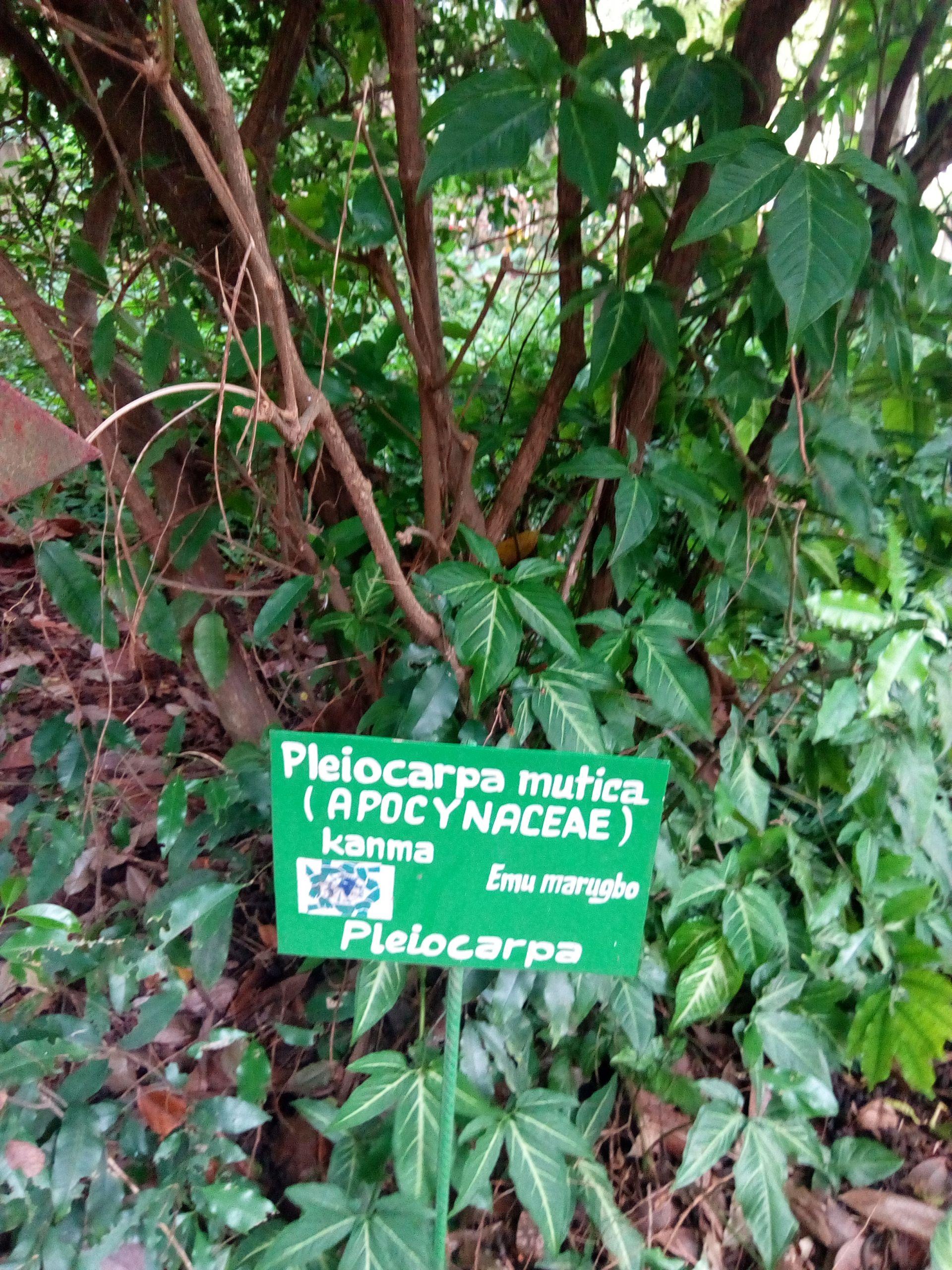 Pleiocarpa au Jardin des Plantes et de la Nature