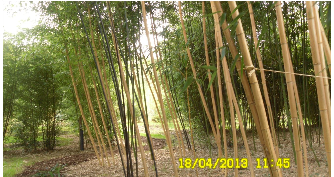 bambous somme3 JPG
