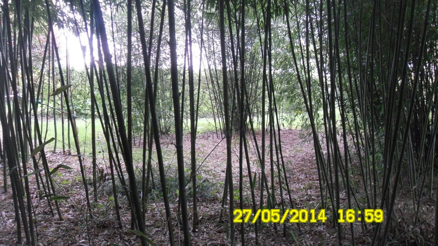 jardin de bambous NET fait le 27 MAI% % JPG