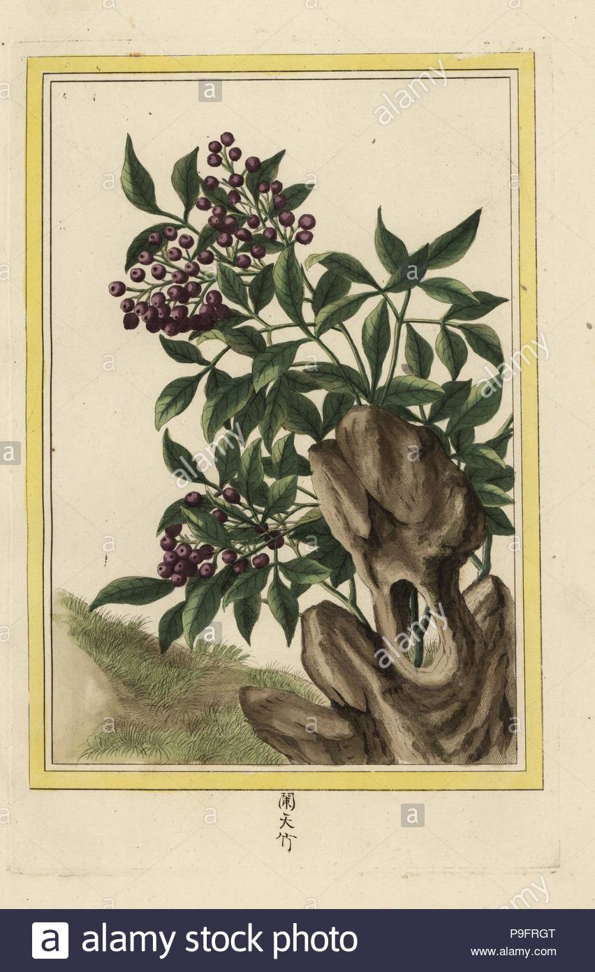la bagard sacred bamboo nandina domestica named for bagard prof of the college royal des medecins nancy handcoloured etching from pierre joseph buchoz collection precieuse et enluminee des fleurs les plus belles et les plus curieuses qui se cultivent tant dans les jardins de la chine que dans ceux de leurope paris 1776 P9FRGT