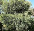Jardin Botanique Barcelone Unique File Acacia Retinodes Jardn Botánico De Barcelona