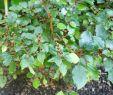 Jardin Botanique Bayeux Charmant File Calvoa orientalis Jardin Botanique De Berlin 8
