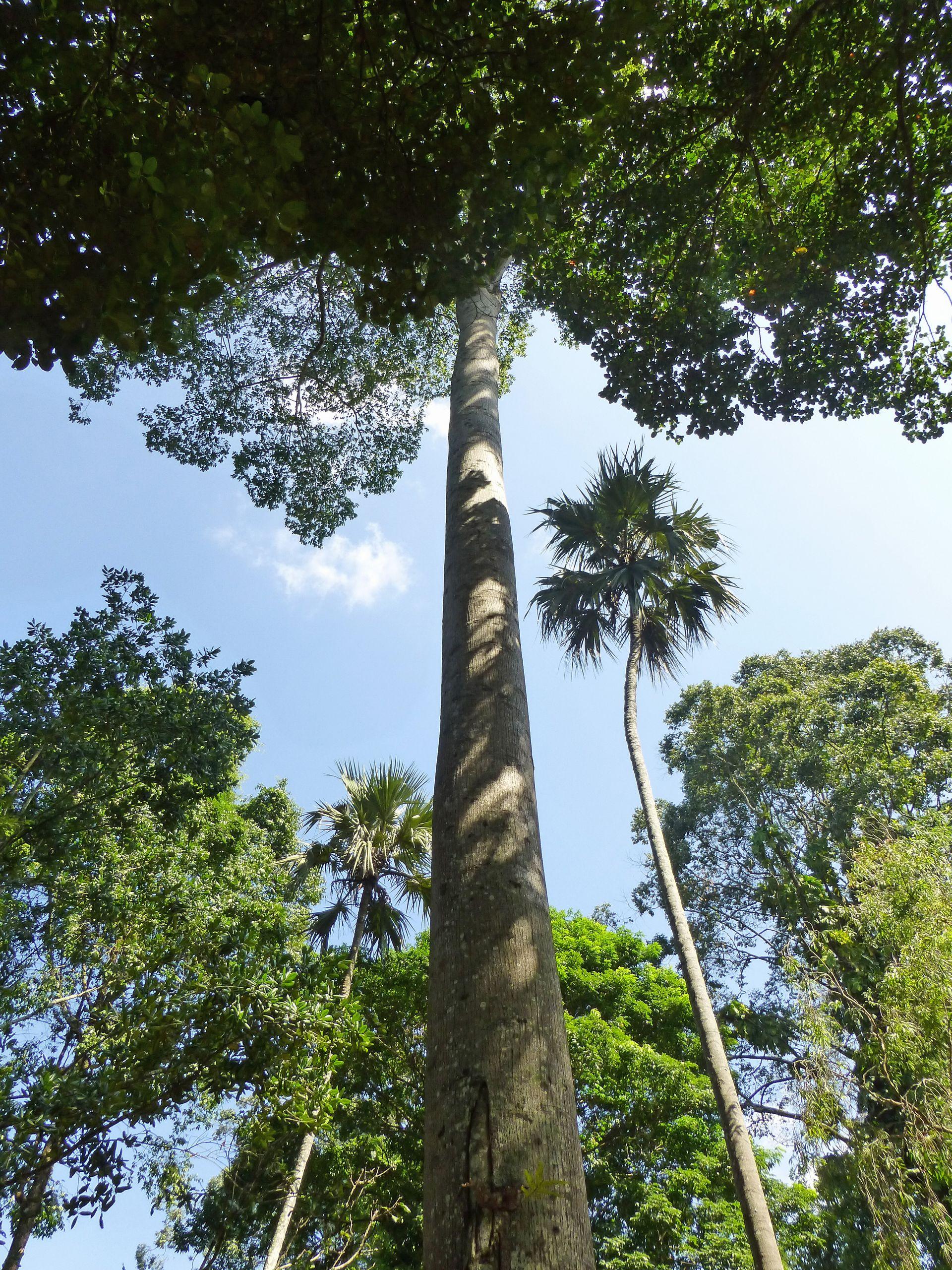 Jardin Botanique Charmant File Antiaris toxicaria Jardin Botanique De Kandy 2