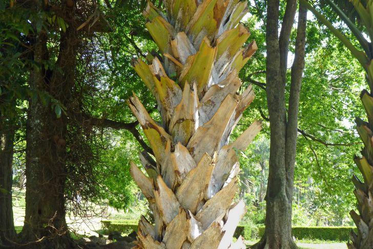 Jardin Botanique Charmant File Corypha Umbraculifera Jardin Botanique De Kandy 2