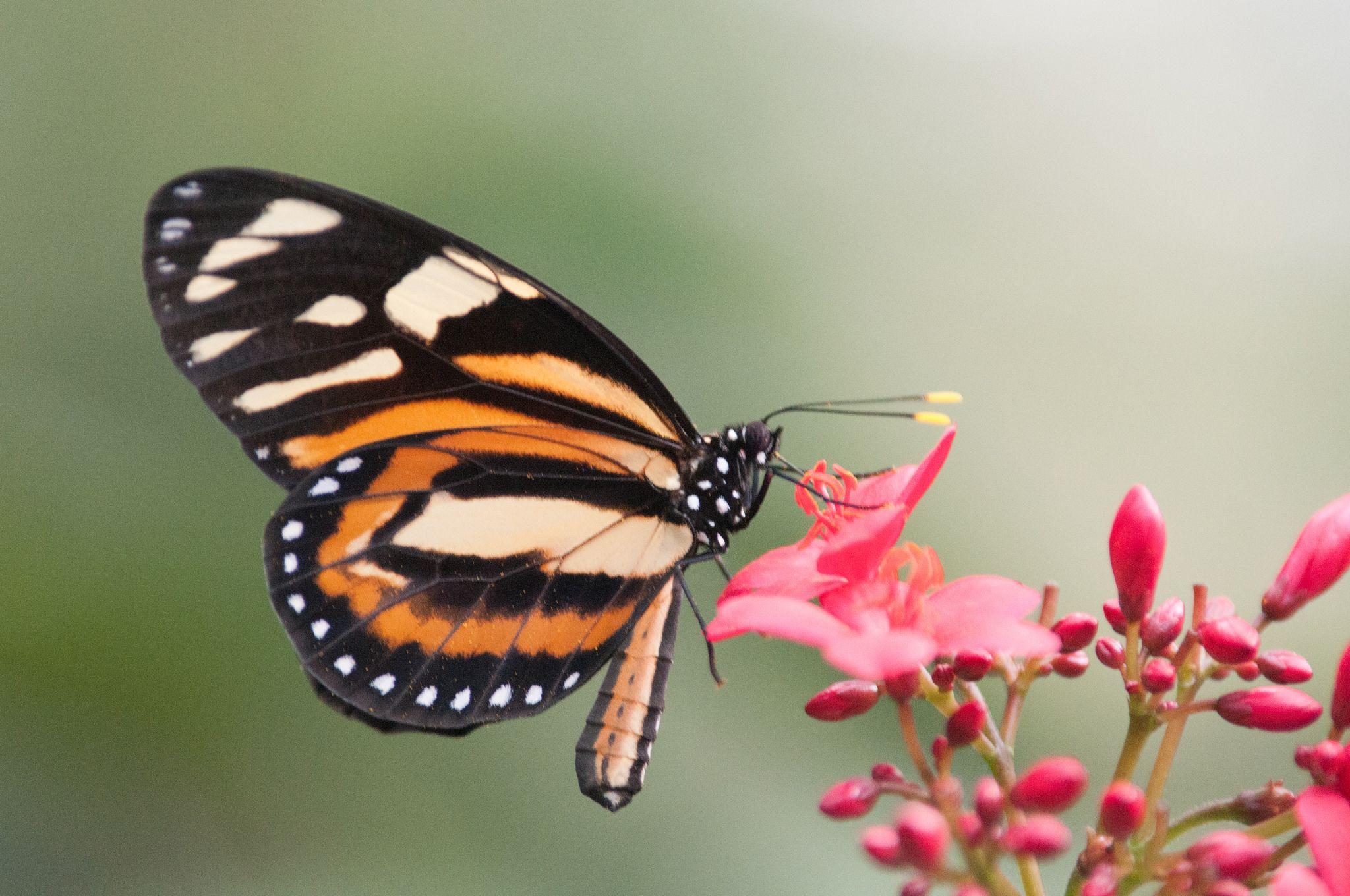 Jardin Botanique Charmant Lycorea Halia
