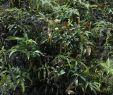 Jardin Botanique Frais Nepenthes Fusca Wikiwand