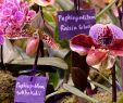 Jardin Botanique Génial Sukhakul S Paphiopedilum Media Encyclopedia Of Life
