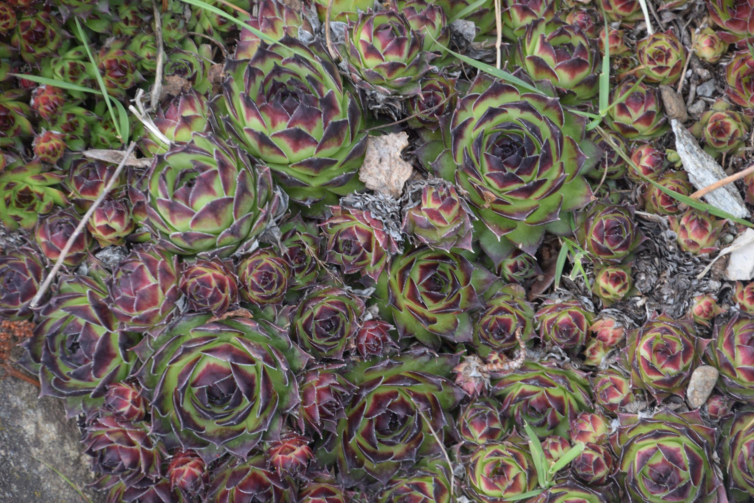 Jardin Botanique Luxe File Sempervivum Tectorum In Jardin Botanique De L Aubrac 02
