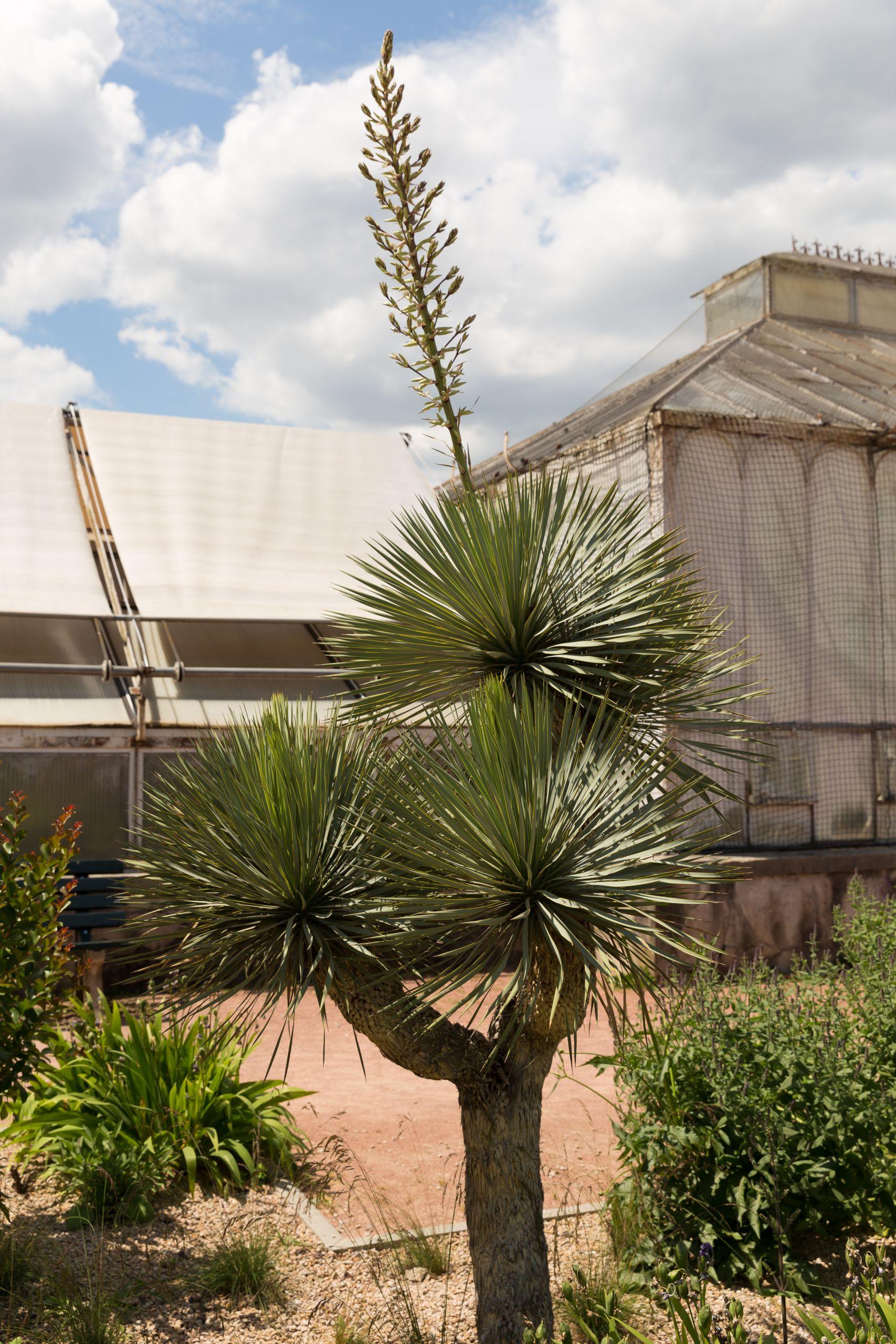 Jardin Botanique Luxe File Yucca Gloriosa Yucca 80 Wikimedia Mons