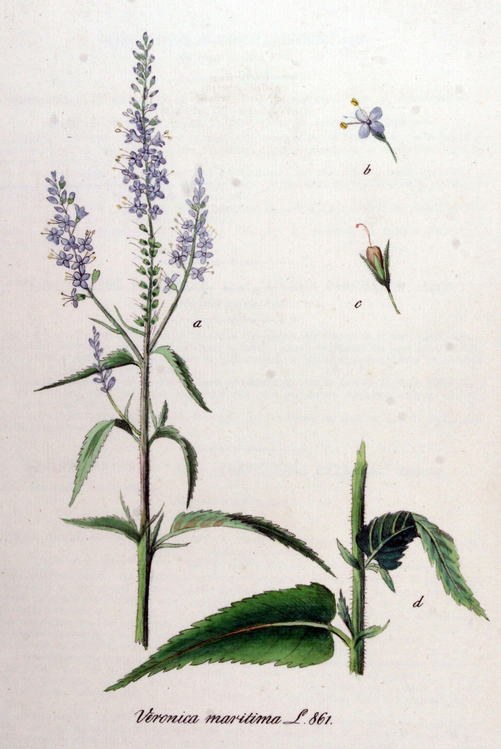 Jardin Botanique Luxe Garden Speedwell Media Encyclopedia Of Life