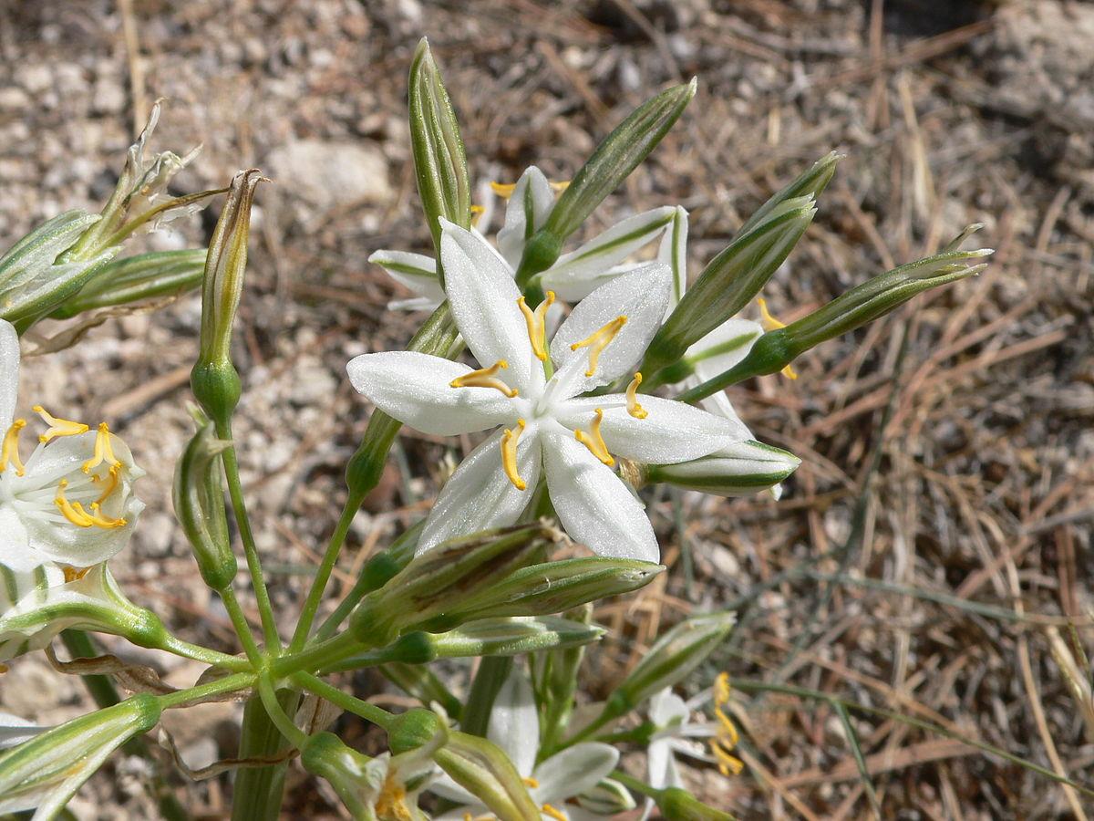 1200px Lapiedra martinezii Flor de la estrella