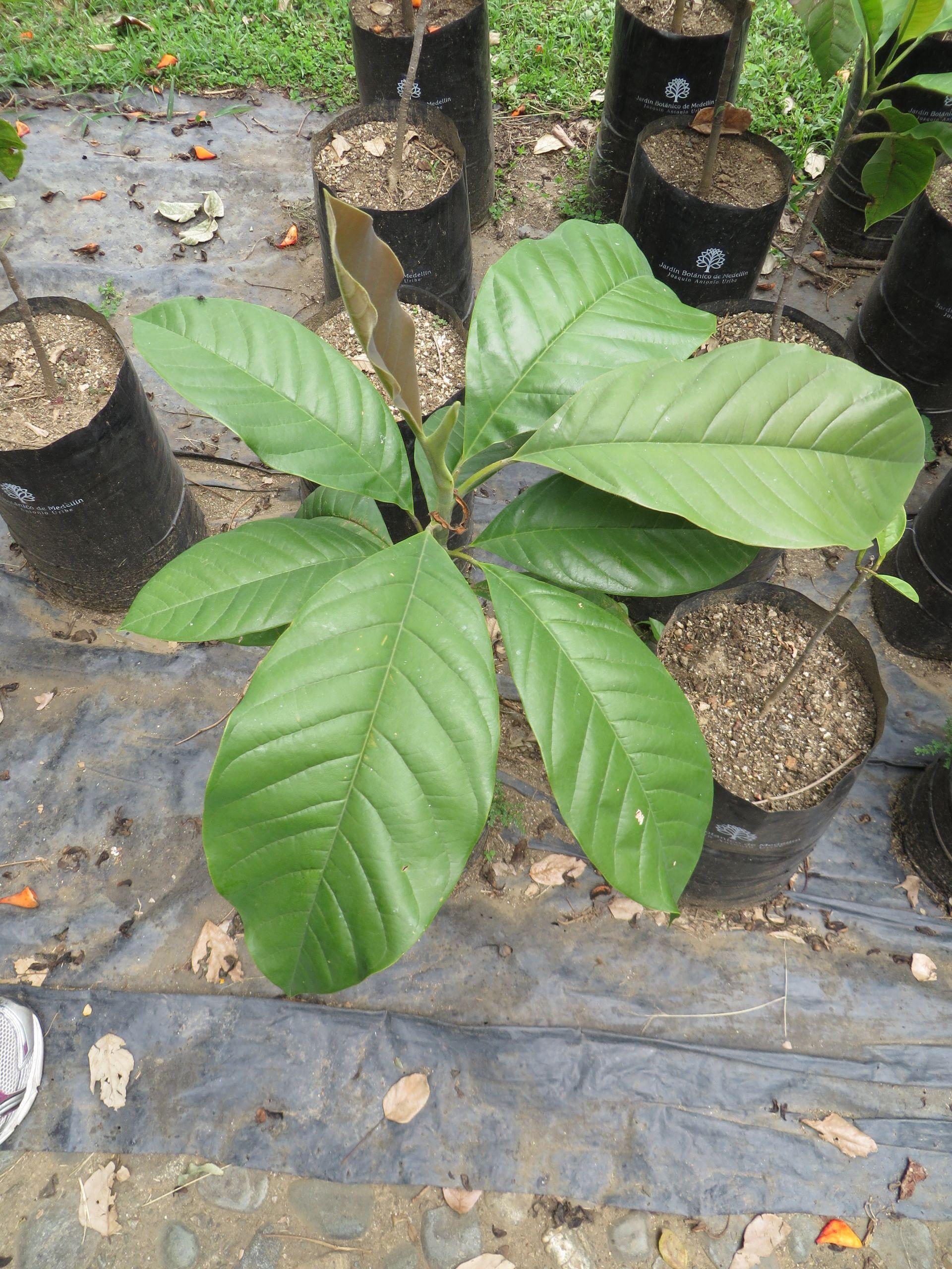 Seedling of M jardinensis JPG