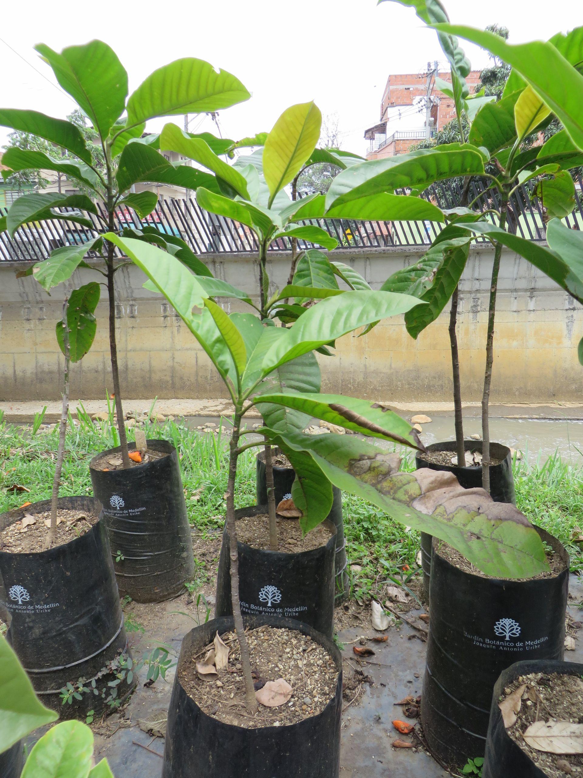 Seedling of M jardinensis 2 JPG