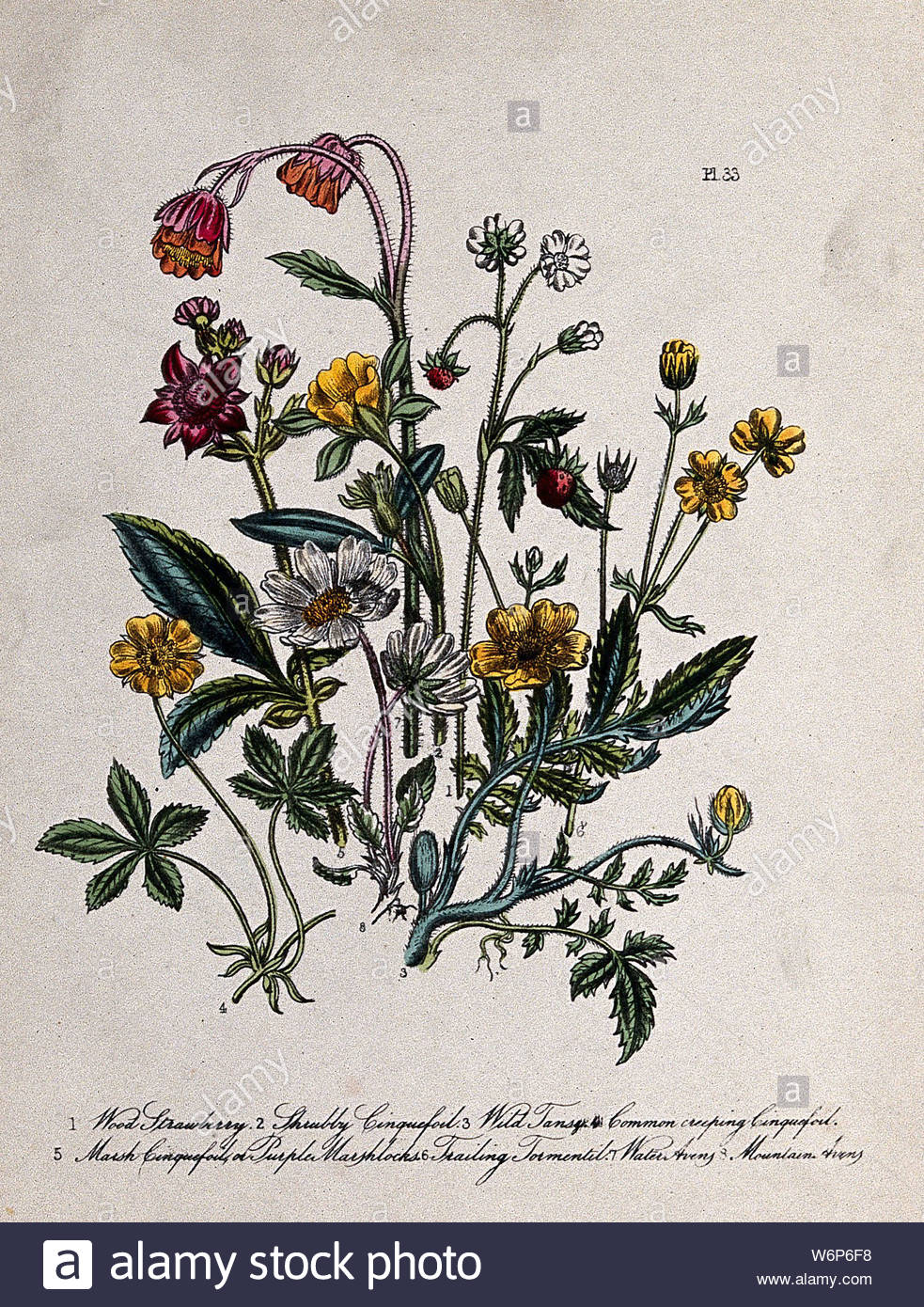 eight british wild flowers including wild strawberry fragaria vesca cinquefoils potentilla species and water avens geum rivale coloured lithograph c 1856 after h humphreys W6P6F8