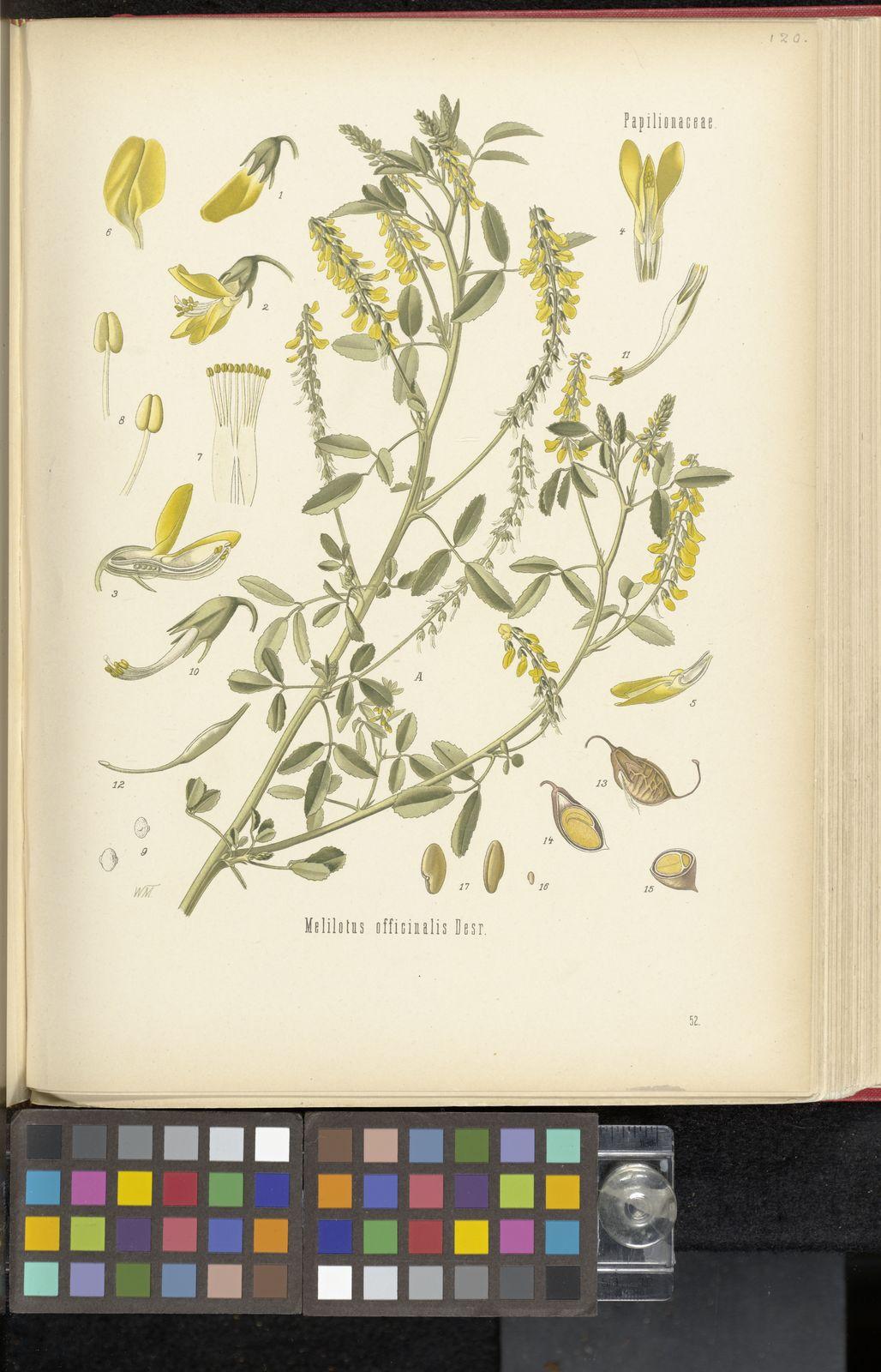 Jardin De L Himalaya Frais Melilotus Officinalis L Lam Of 53 Génial Jardin De L Himalaya