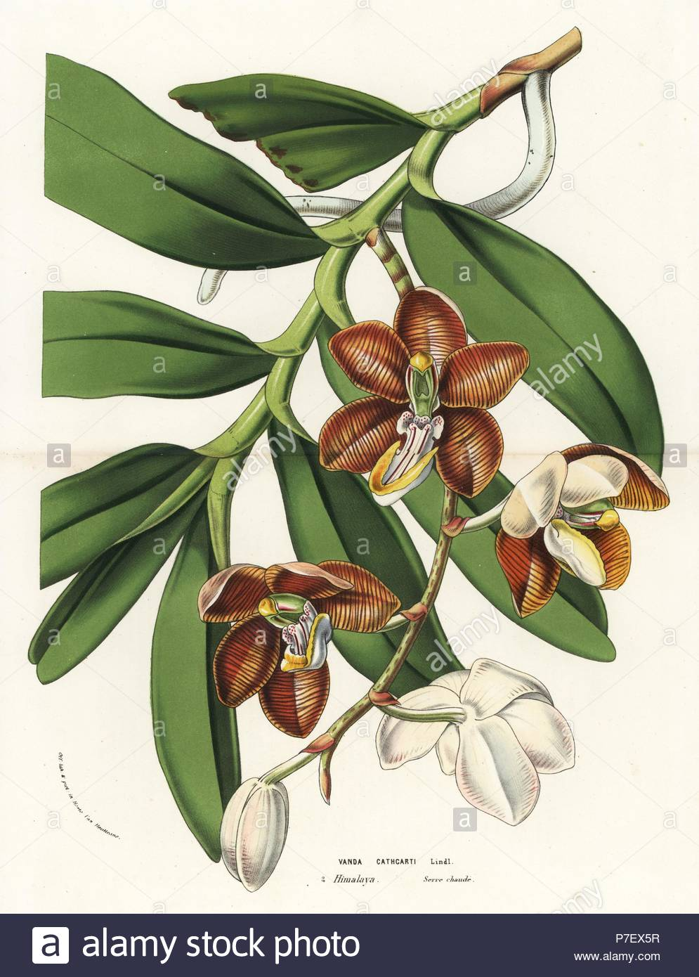 esmeralda cathcartii orchid vanda cathcarti handcoloured lithograph from louis van houtte and charles lemaires flowers of the gardens and hothouses of europe flore des serres et des jardins de leurope ghent belgium 1870 P7EX5R