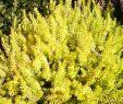 Jardin De L Himalaya Génial Erica Carnea Foxhollow with Images