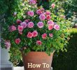 Jardin De Roses Beau Learn How to Grow Roses In Containers with This Helpful
