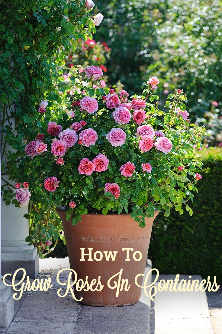 Jardin De Roses Beau Learn How to Grow Roses In Containers with This Helpful Of 89 Nouveau Jardin De Roses