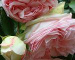 89 Nouveau Jardin De Roses