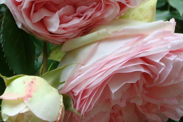 Jardin De Roses Génial Les Roses De Mon Jardin