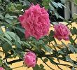Jardin De Roses Unique 325 Best Roses In Sunny Singapore Images