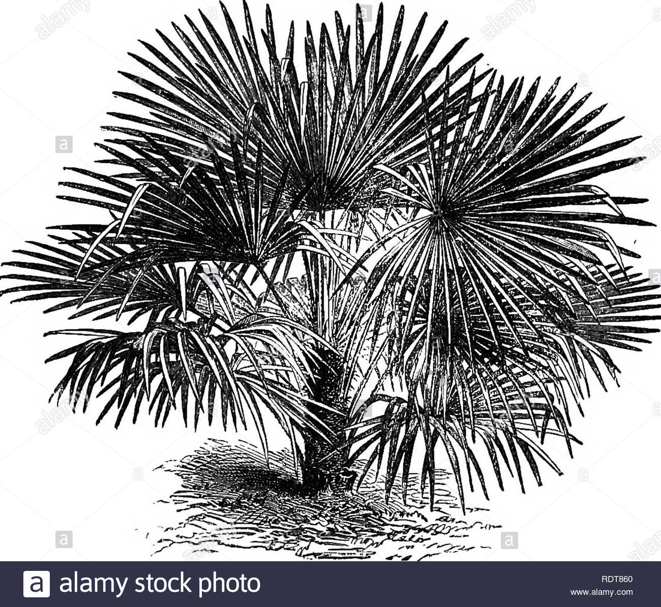 the parks promenades and gardens of paris described and considered in relation to the wants of our own cities and the public and private gardens gardens parks subtropical garden 219 colouring in the nursery department of the jardin des plantes and it doubtless will soon be seen everywhere with us cham2erops excelsait may not be generally known that this palm is perfectly hardy in this country a plant of it in her majestys gardens at osborne has attained a considerable height it is also out at kew though pro tected in winter on the water side of the high mound in fir so RDT860