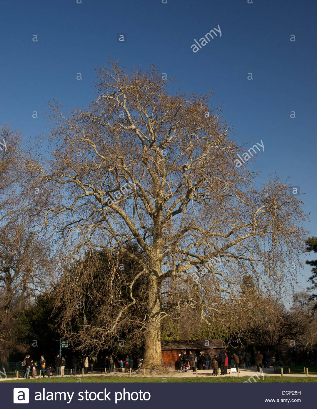 historical buffons plane tree platanus orientalis planted in 1785 DCF26H