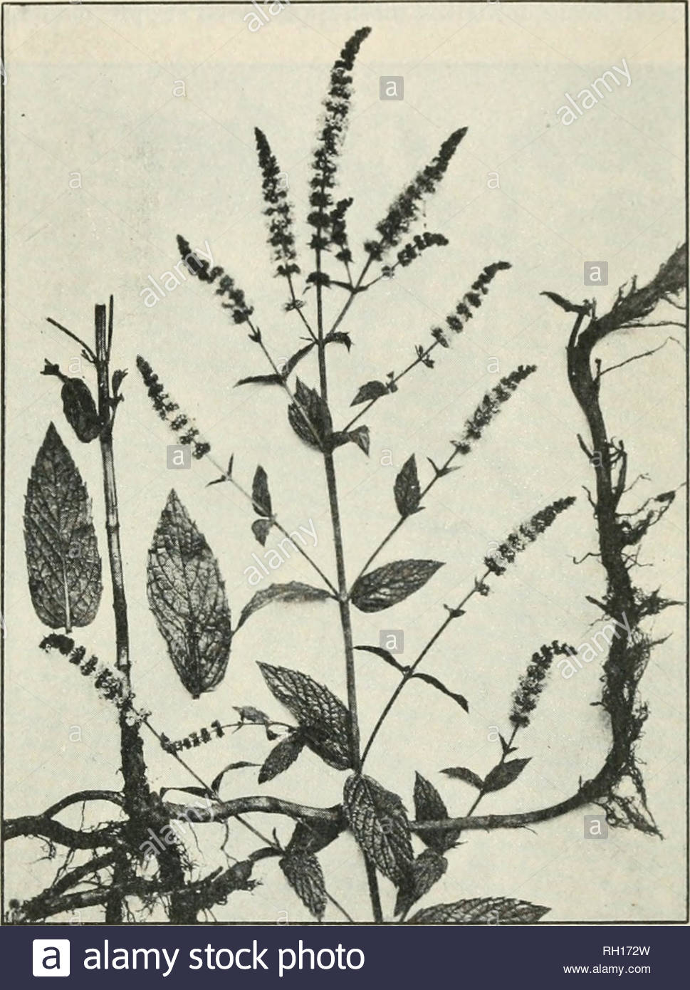 bulletin agriculture plants furnishing medicinal leaves and herbs 29 the oil which is obtainod y distillation with wafltr from the fresh or partially dried leaves and howerinlt tops is also oliicial in the lnittul states pharmacoixria while a less acreage was devoted to peppermint dunnlt 1910 conditions were favorable to its growth and the crop is estimated to have amounted to about pounds the wholesale quotations for peppermint oil in the spring of 1911 ranged from 285 to 295 a jxmnd spearmint mentha spicata l pharmacopaidj luimc mentha viridis synonym RH172W