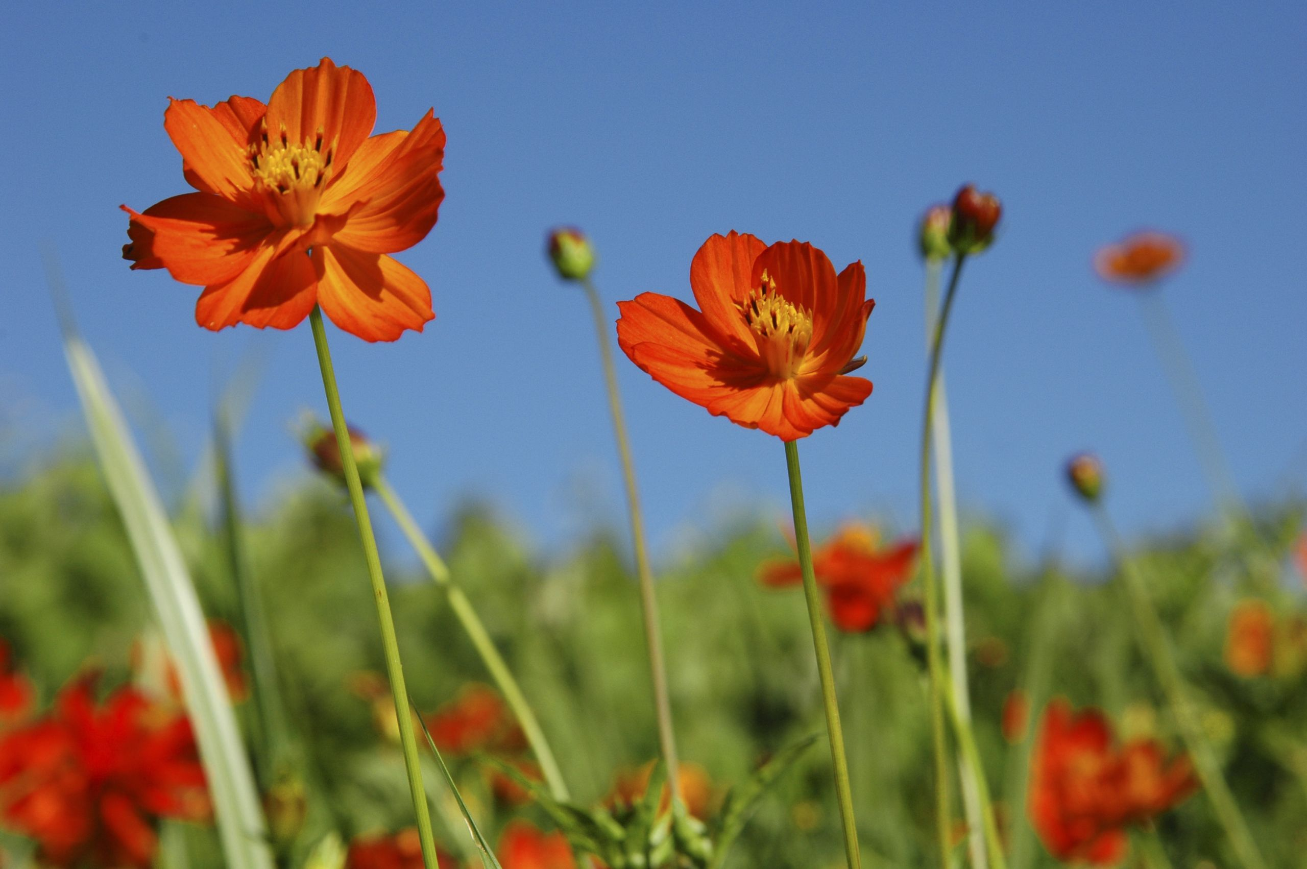 Jardin Fleur Luxe Sulphur Cosmos Media Encyclopedia Of Life Of 42 Charmant Jardin Fleur