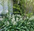 Jardin Tropical Unique Nz Rock Lily Arthropodium