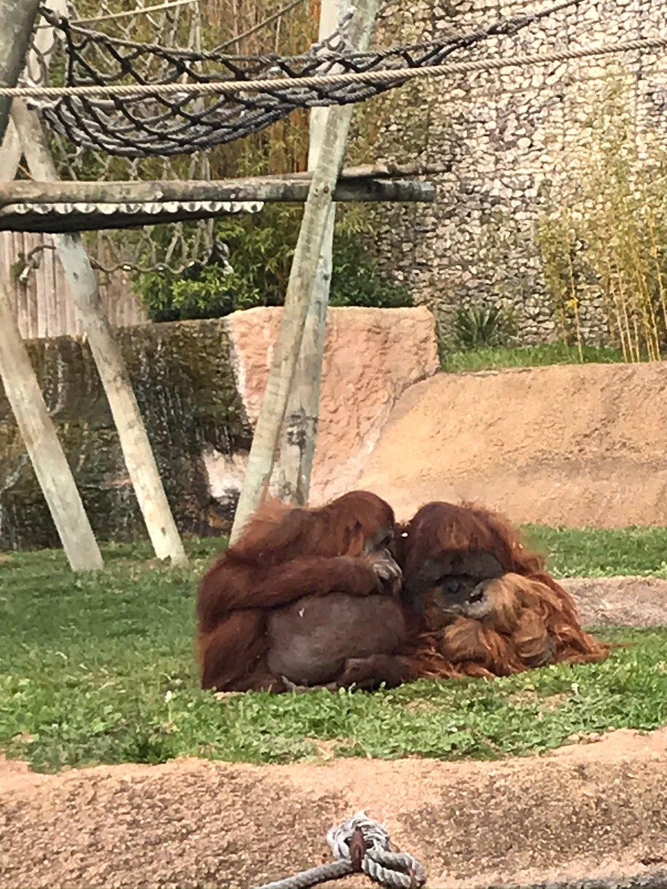 lisbon zoo pregnant orangutan