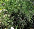 Le Jardin Des Plantes Montpellier Charmant File Colletia Spinosissima In Jardin Des Plantes De