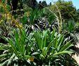 Le Jardin Des Plantes Montpellier Frais File Beschorneria Yuccoides In Jardin Des Plantes De