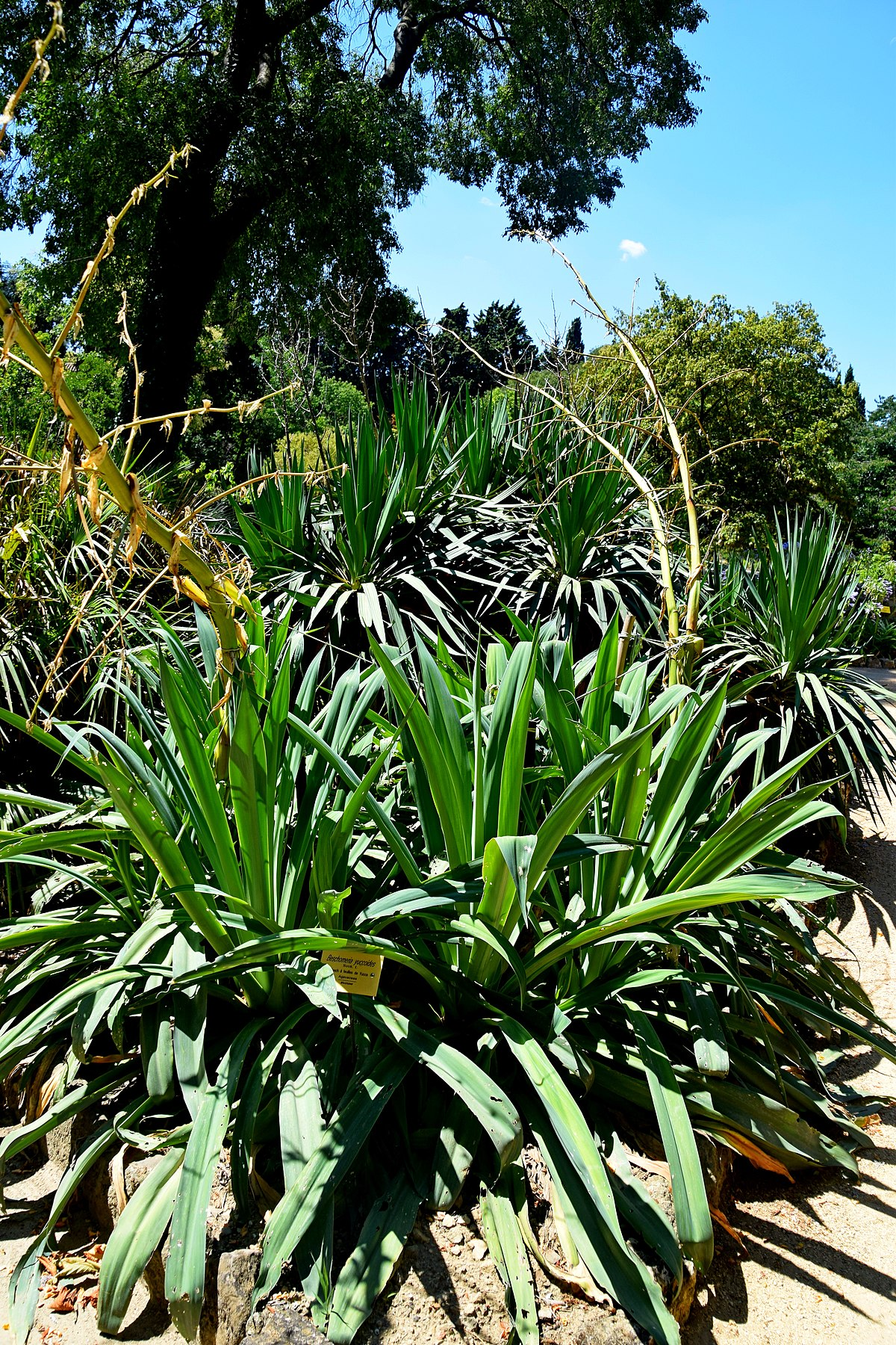 1200px Beschorneria yuccoides in Jardin des plantes de Montpellier 02
