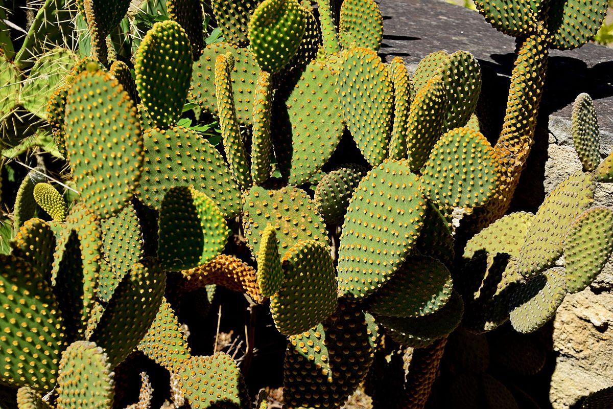 Le jardin des plantes montpellier luxe file opuntia - Le jardin des plantes montpellier ...